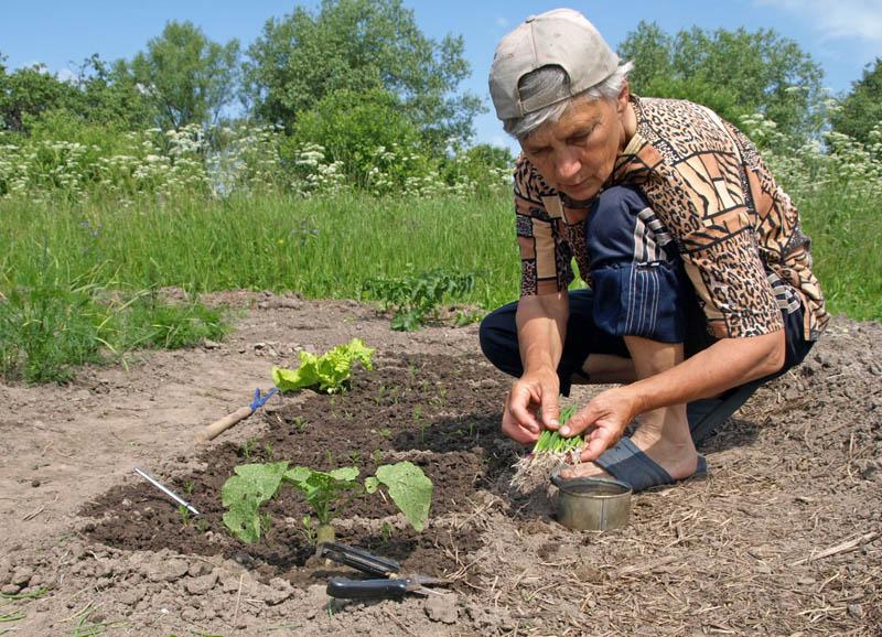 Фермерру выращивание моркови 98