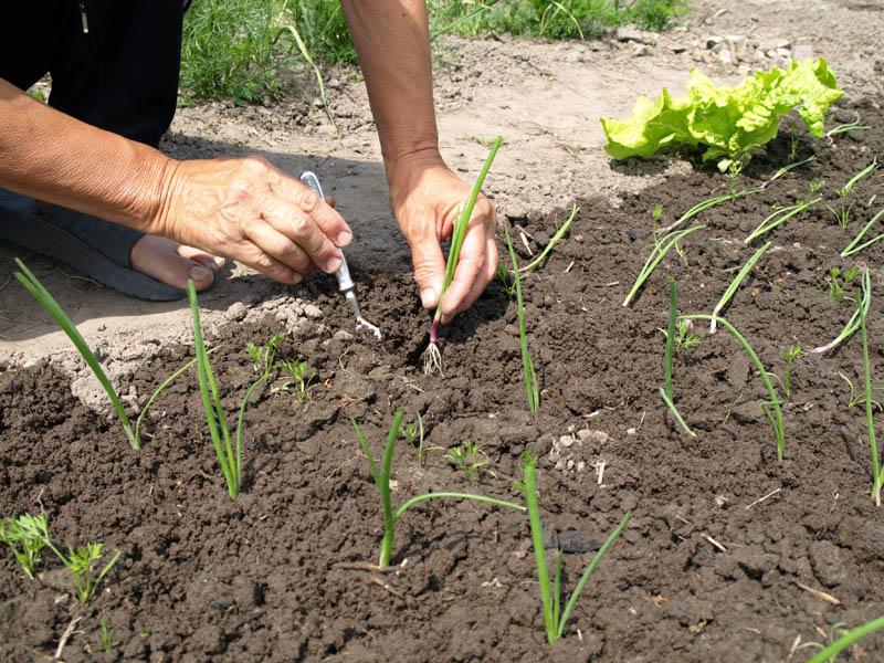 Как вырастить морковь из семян в домашних условиях